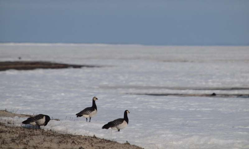 In a warming climate, Arctic geese are rushing north
