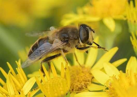 Infectious disease in hoverflies linked to honeybee health