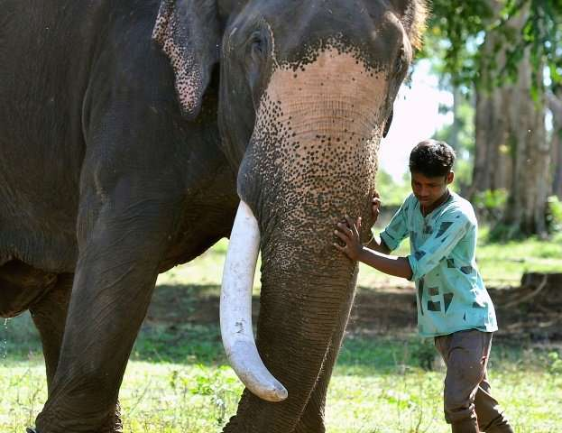 In Karnataka, forest rangers, mounted on elephants themselves, capture problem pachyderms, of which there are more and more, and