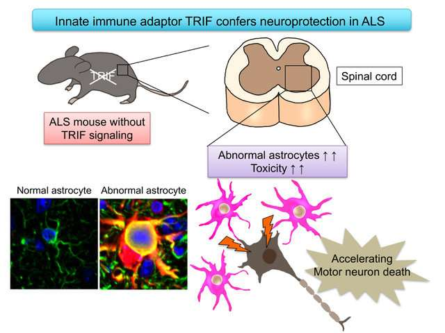 Innate immune adaptor TRIF confers neuroprotection in ALS
