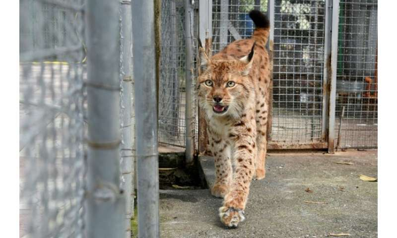 In the 1970s, the region had about 280 Balkan Lynxes, according to biodiversity experts, but civil unrest, poaching and habitat