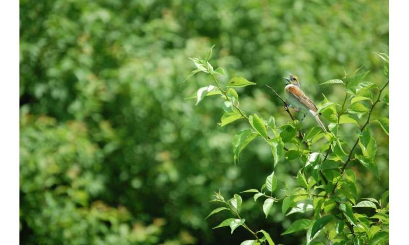 Invasive forage grass leads to grassland bird decline
