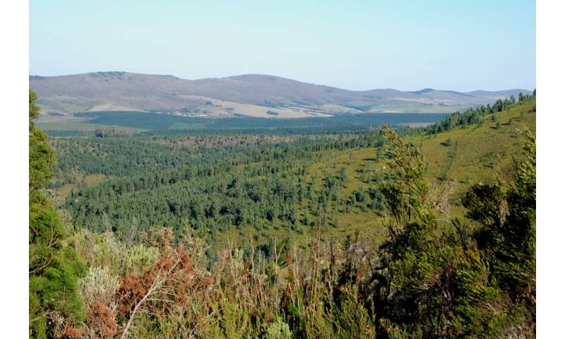 Invasive pines fueled 2017 fires in Knysna, South Africa