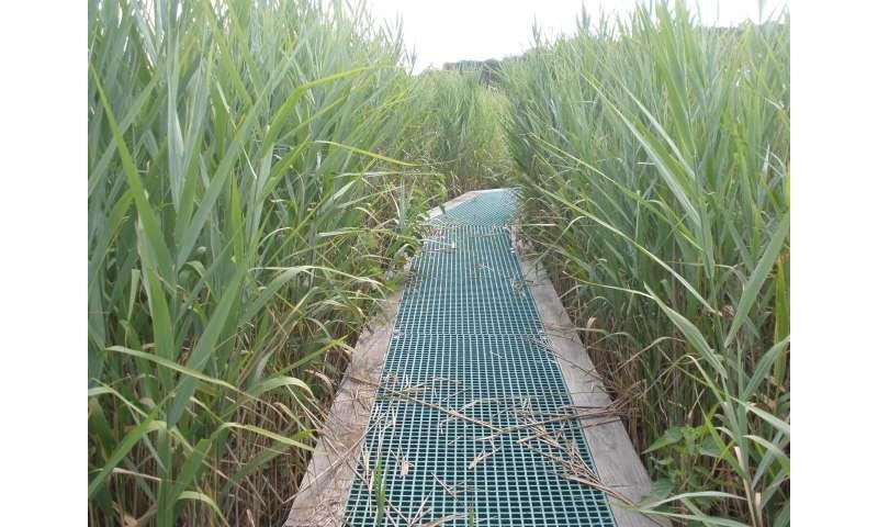 Invasive plants can boost blue carbon storage