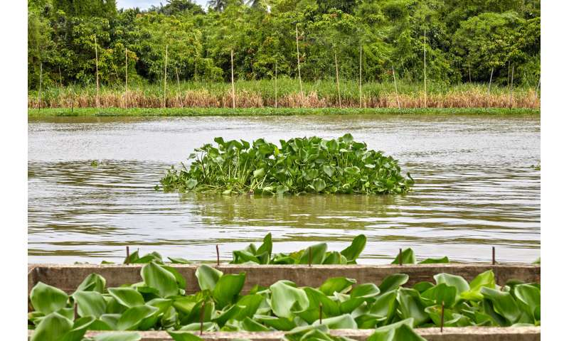 Invasive tropical plant can completely remove metal pollutants from Britain's rivers – new study