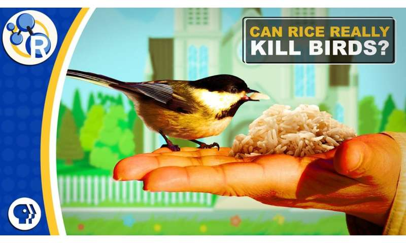 Is throwing rice at weddings bad for birds? (video)
