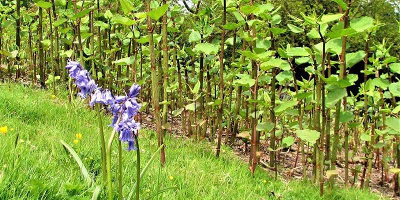 Japanese knotweed—not such a knotty problem?