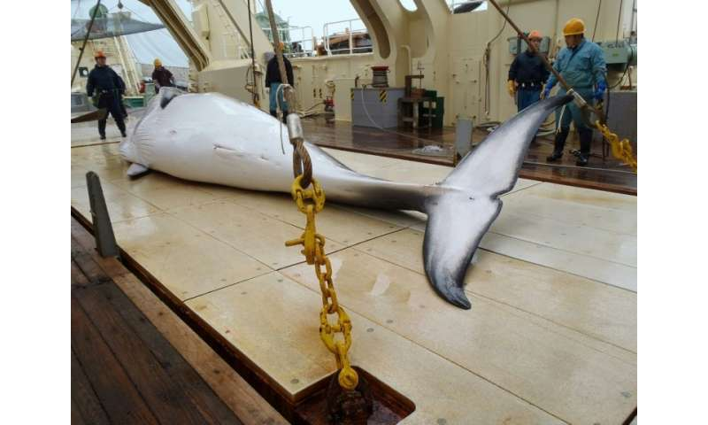 Japan is a signatory to the International Whaling Commission moratorium on hunting, but exploits a loophole that allows whales t
