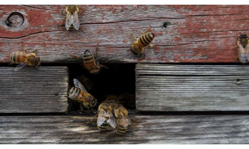 Keeping honeybees doesn't save bees – or the environment