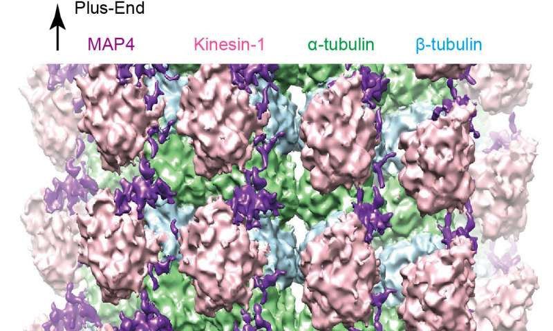 Keeping our cells stable: A closer look at microtubules