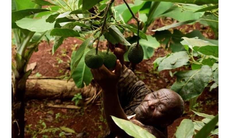 Kenyan farmers like Simon  Kimani hope to cash in on Europeans' taste for avocado toast