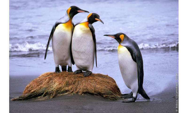 King penguins may be on the move very soon