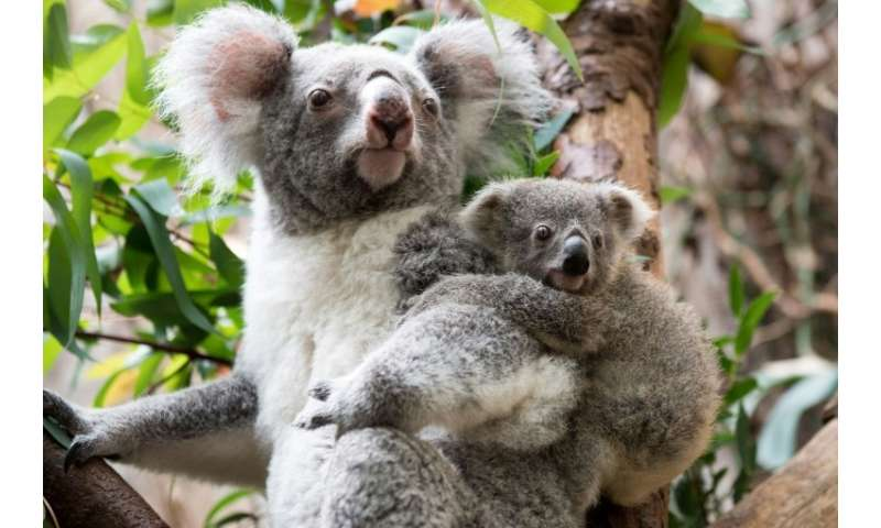 Koalas are effectively extinct in parts of Australia