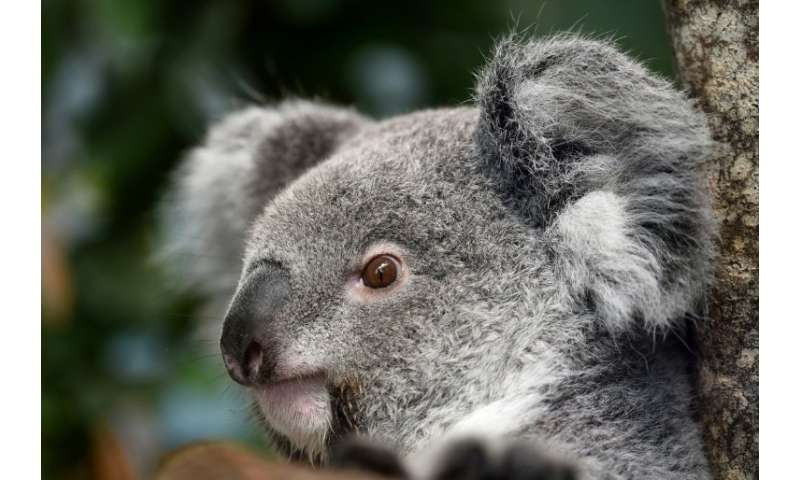 Koalas are notoriously fussy eaters whose diet consists mainly of eucalyptus leaves, which would be toxic for most animals and a