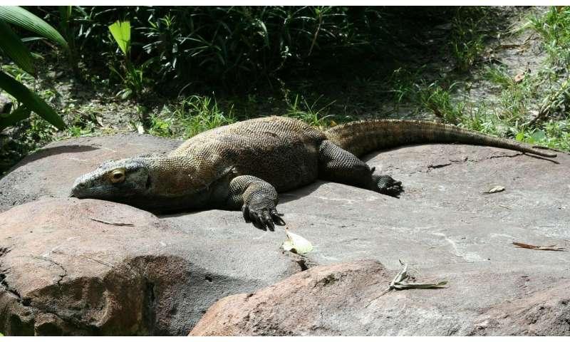 Komodo dragon genome reveals clues about its evolution