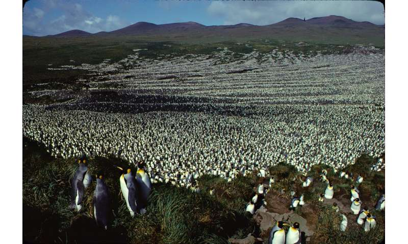 Largest king penguin colony has shrunk nearly 90%
