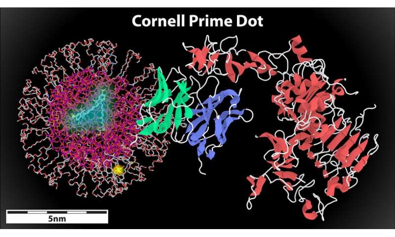 Latest Cornell dot features a new cancer weapon: Antibodies