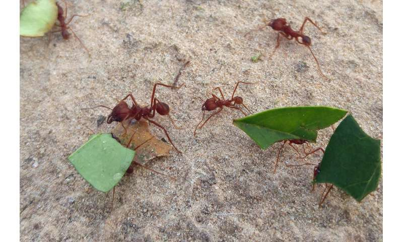 Leafcutter ants' success due to more than crop selection