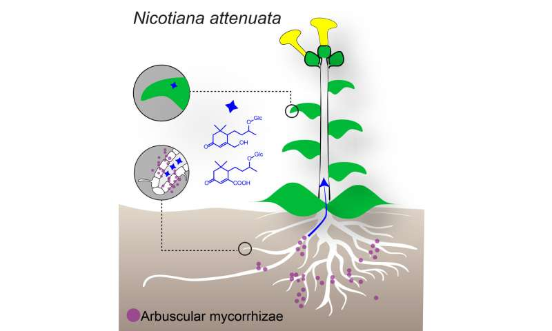 Leaf molecules as markers for mycorrhizal associations