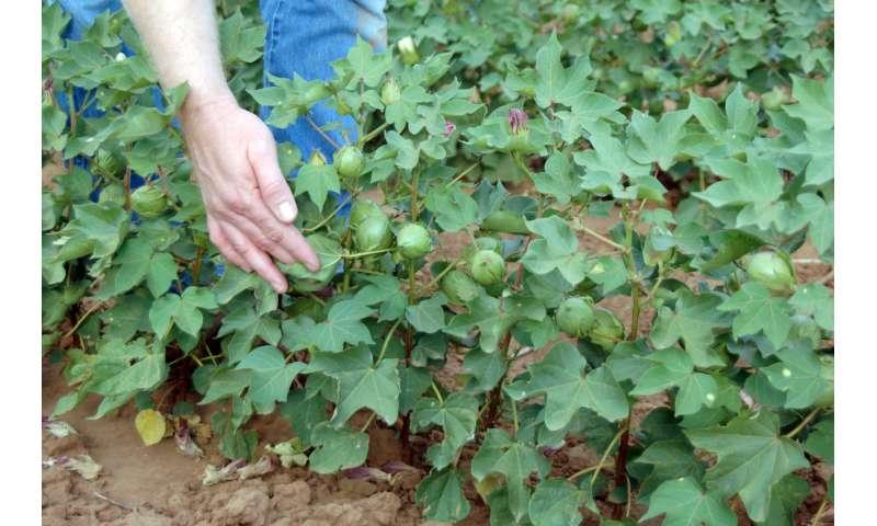 Less water, same Texas cotton