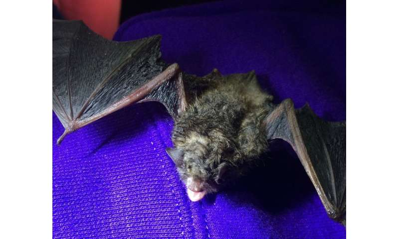 Lethal fungus that causes white-nose syndrome may have an Achilles' heel, study reveals