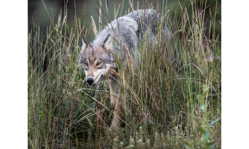 Lethal management of wolves in one place may make things worse nearby