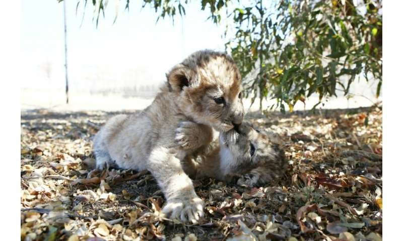 Lions are extinct in 26 African countries and numbers in the wild have plummeted 43 percent over the last two decades