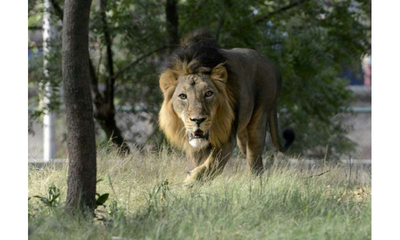 Listed as critically endangered in 2000, wild Asiatic lions reside only in one Indian forest