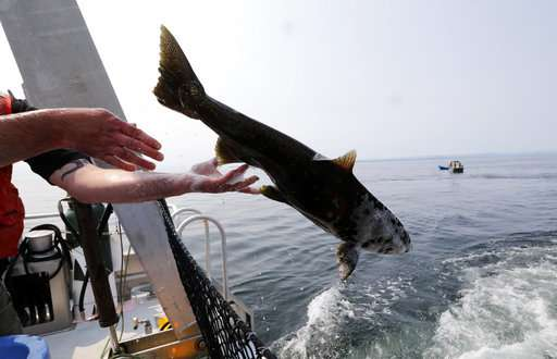 Live salmon released for ailing orca but she doesn't eat