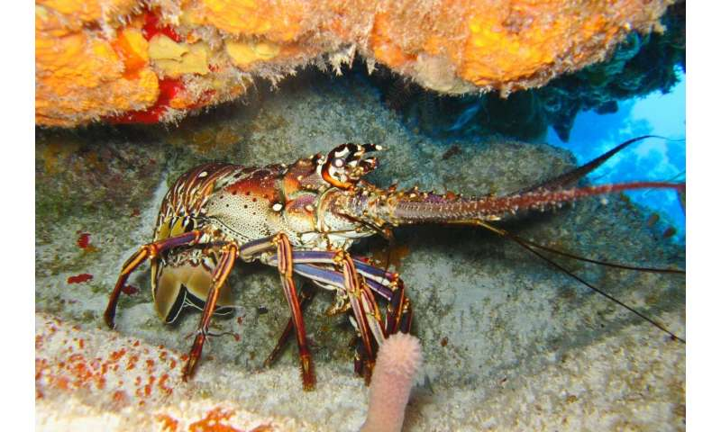 Psychologist Jordan Peterson says lobsters help to explain why human