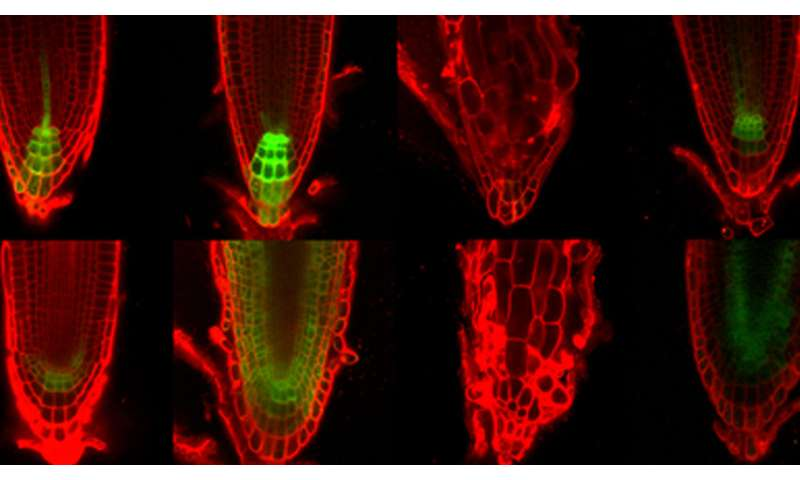 Local hormone production is root of issue for plant development
