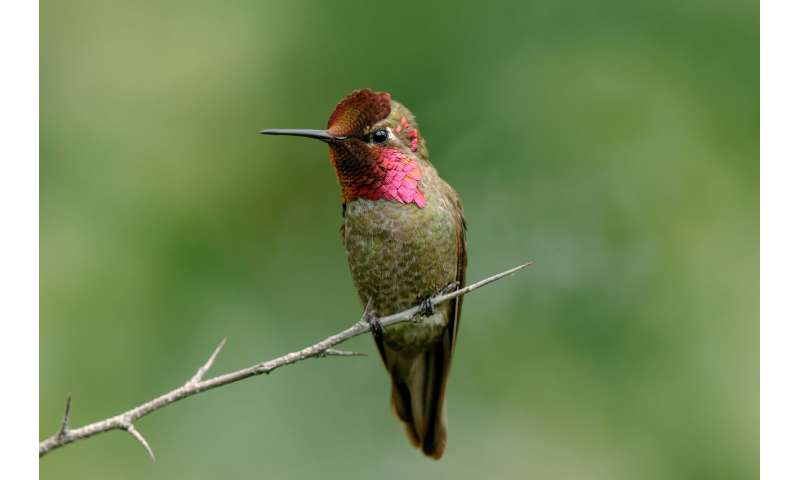 Majority of Anna's hummingbirds may have feather mites on their tail feathers