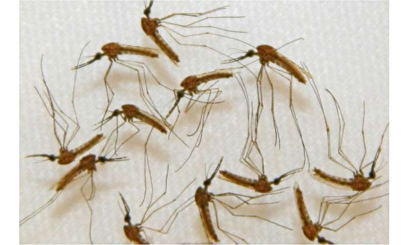 Malaria infected mosquitoes ready for dissection in the manufacturing facility of Sanaria, Inc, in Rockville, Maryland during va
