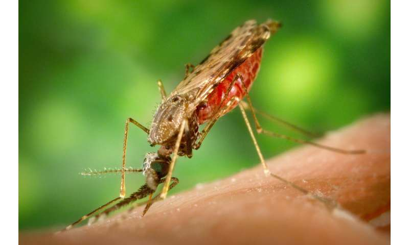 Malaria parasite packs genetic material for trip from mosquitoes to humans
