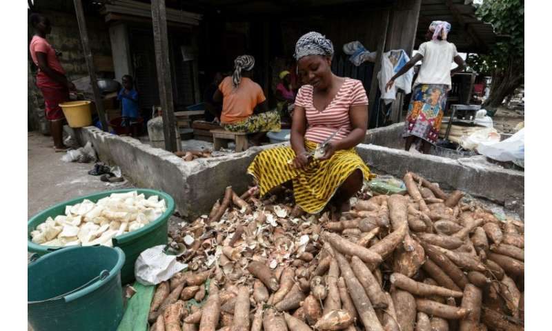 Manioc, also called cassava, is a staple food across West Africa—the brown root vegetable is peeled, pulped and cooked, providin