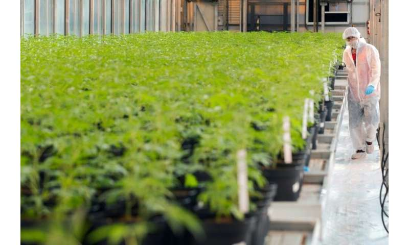 Marijuana plants at a greenhouse operated by cannabis producer UP in Lincoln, Canada