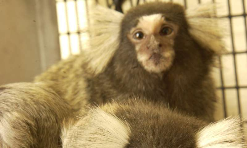 Marmosets as the canary in the coal mine for Zika