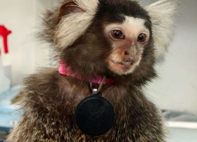 Marmosets serve as an effective model for non-motor symptoms of Parkinson's disease