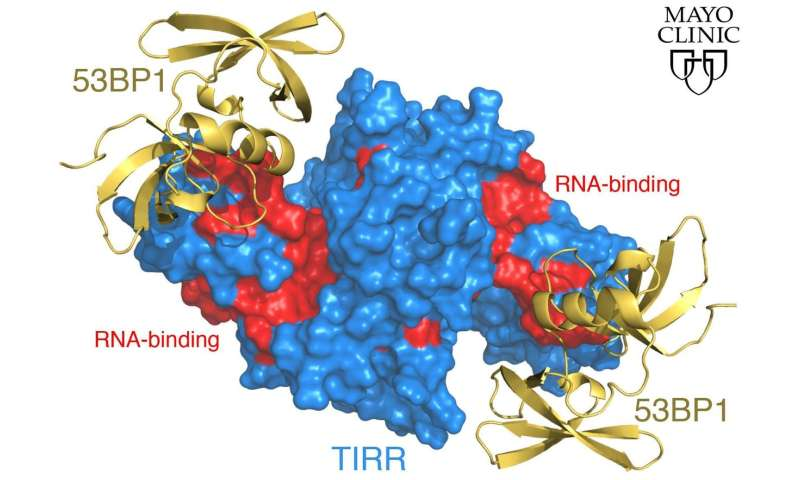 Mayo researchers find off/on switch for DNA repair protein