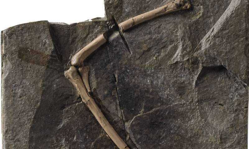 Medullary bone found in Cretaceous birds