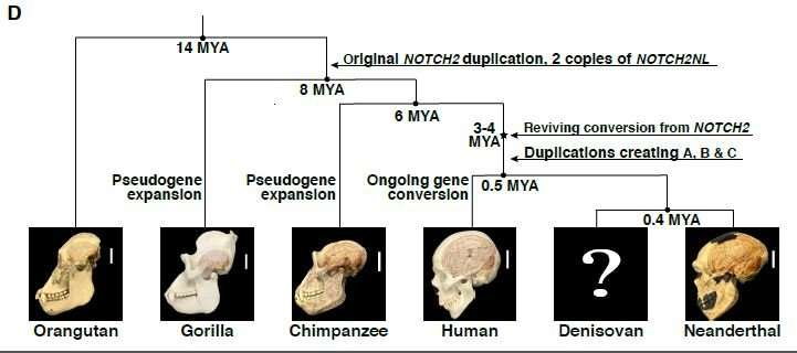Learn about NOTCH2NL, the human-specific genes that may have given us our big brains