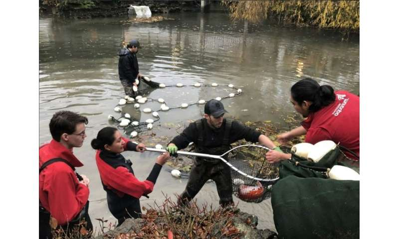 Members of Aquaterra Environmental and the Vancouver Aquarium removing Koi fish from a pond which had become a wild otter's hunt