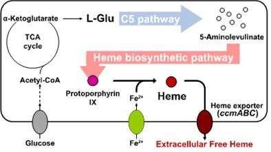 Metabolic engineering of E. coli for the secretory production of free haem