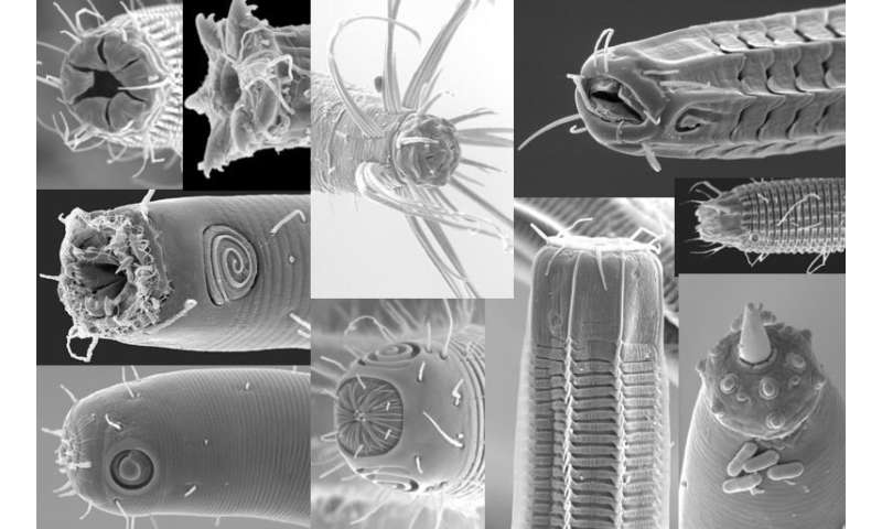Microbiome study suggests marine nematodes are not picky eaters