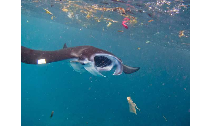 Microplastics: No small problem for filter-feeding ocean giants