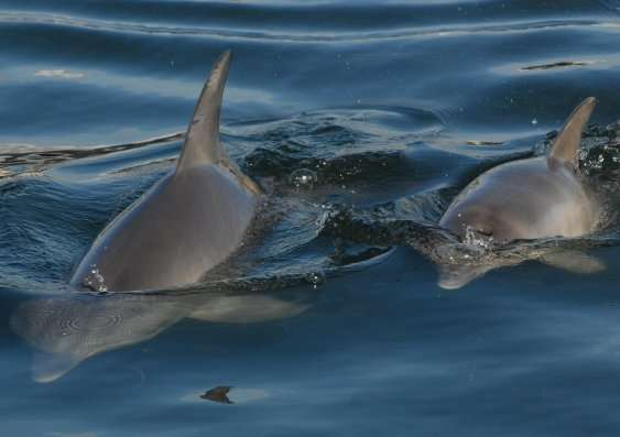 Migration critical to survival of dolphin populations, genetic study shows