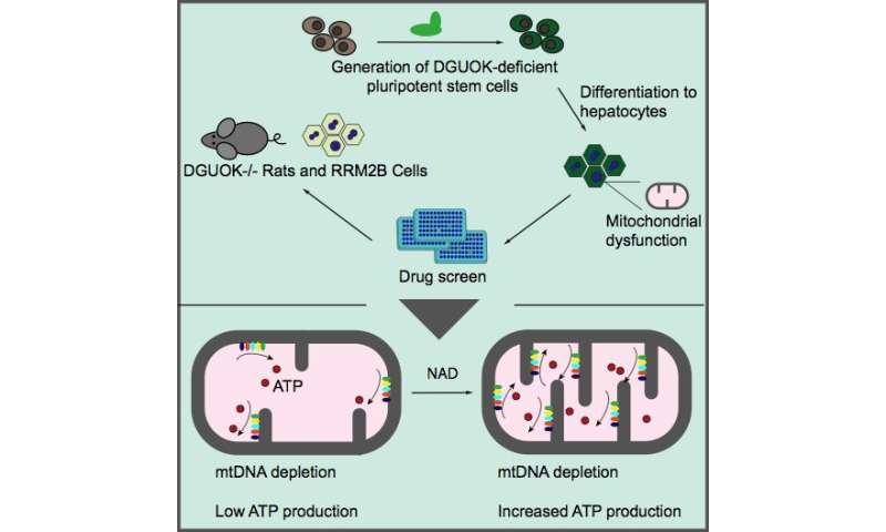 Depleted Atp Levels Causes Neural >> Nad Can Restore Mitochondrial Function And Energy Production In