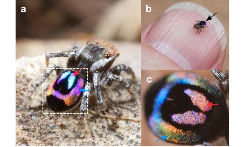 Nature's smallest rainbows, created by peacock spiders, may inspire new optical technology