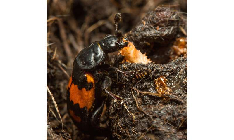 Neglected baby beetles evolve greater self-reliance