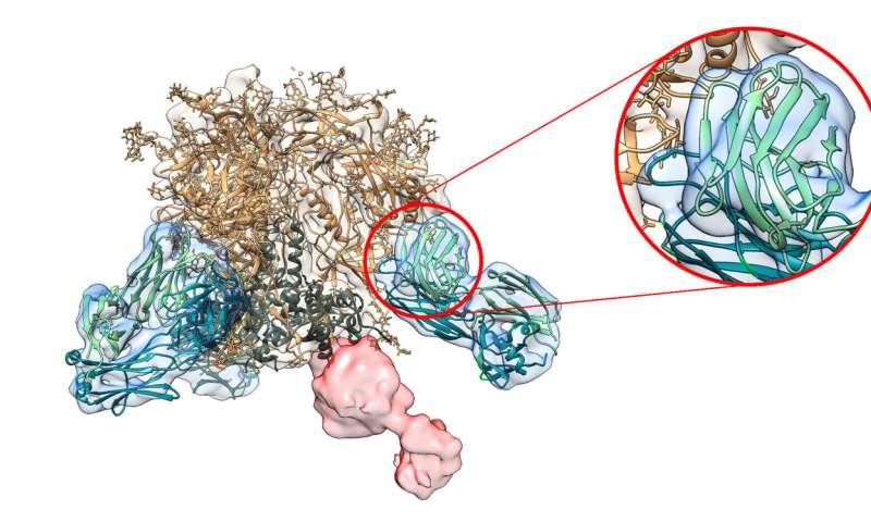 New antibody analysis accelerates rational vaccine design
